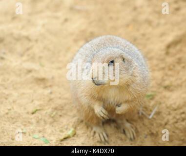 Black-tailed prarie dog - Stock Photo