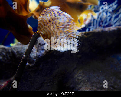 Spirographis spallanzani - Weathry-tuft tube worm - Stock Photo