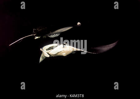 Closeup of two giant manta rays, manta  birostris, passing over each other in opposite directions - Stock Photo