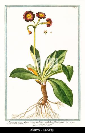 Old illustration of Auricula ursi (Primula auricula). By G. Bonelli on Hortus Romanus, publ. N. Martelli, Rome, - Stock Photo