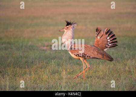 Kori bustard (Ardeotis kori) male courtship display, Kgalagadi Transfrontier Park, Northern Cape, South Africa, - Stock Photo