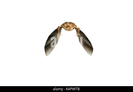 Jamaican, common or Mexican fruit bat (Artibeus jamaicensis) flying, isolated on white background. - Stock Photo