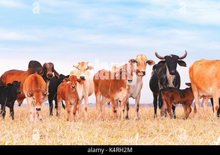Herd with cows and calves on the pasture of a farm. Milky cows, dry pasture, mixed colors, pasture of procreation - Stock Photo