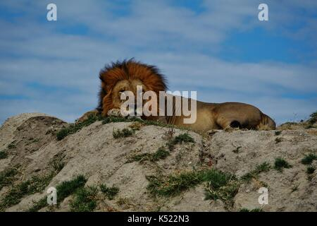 Male lion sleeping on hill - Stock Photo