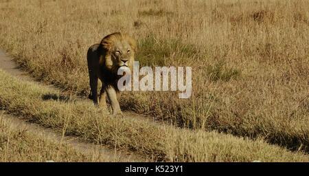 Lioness sleeping - Stock Photo