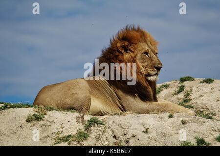 Big male lion sitting on hill - Stock Photo