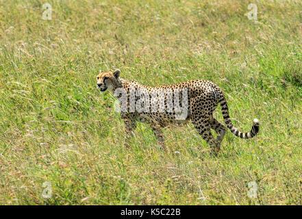 Cheetah on the prowl in the Serengeti - Stock Photo