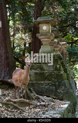 Nara - Japan, May 29, 2017: Deer wonder freely near stone lanterns in the park at the Kasuga Taisha shrine - Stock Photo