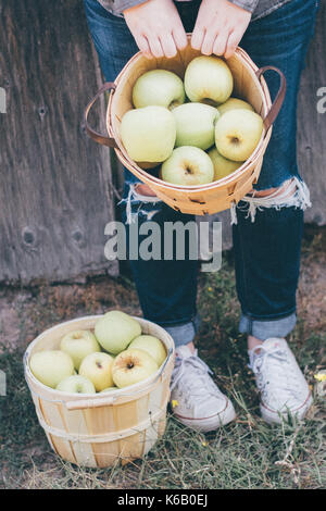 Golden apples ready for picking from the tree in an orchard in the autumn - Stock Photo