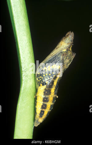 Lime Swallowtail Butterfly, Papilio demoleus, Asia and Australia, Pupae about to hatch, common lime butterfly, lemon - Stock Photo
