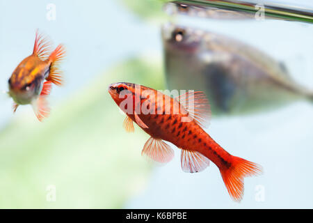 beautiful aquarium fishes red orange color. Cherry barb fishes macro nature concept. shallow depth of field, selective - Stock Photo