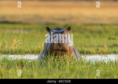 Hippopotamus in water looking. Okavango delta, khwai, Botswana - Stock Photo