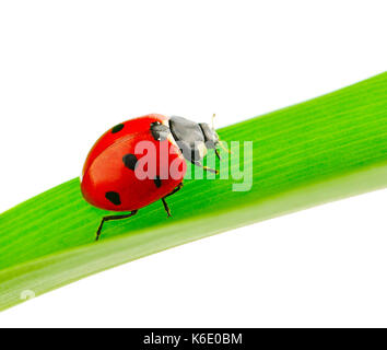 ladybird on green leaf isolated on white - Stock Photo