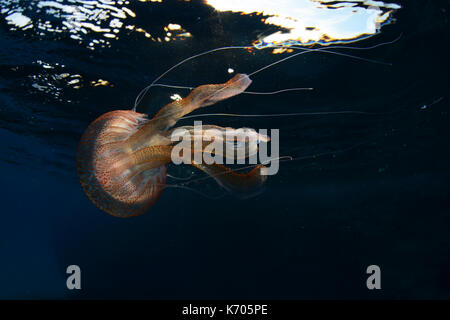 Mauve stinger jellyfish underwater at Cala Balanca, Menorca - Stock Photo