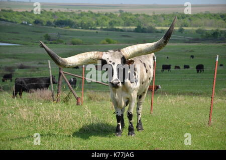 Texas Longhorn cow with large horns stands in an Oklahoma pasture, USA. - Stock Photo