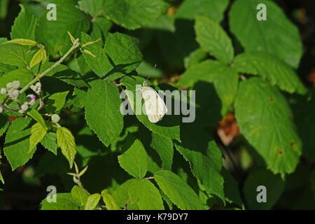 Female Cleopatra or brimstone butterfly on a blackberry bush leaf in Italy. Latin name gonepteryx cleopatra rhamni - Stock Photo