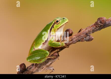 Hila arborea, european tree frog is a small, green tree frog - Stock Photo