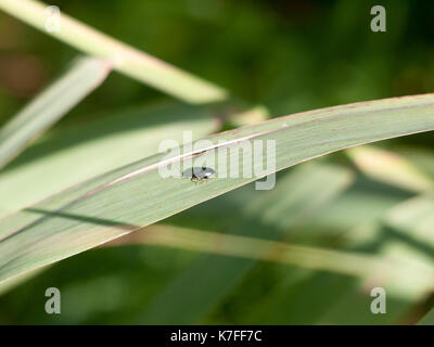 Small green insect blue mint leaf beetle - Chrysolina coerulans; England; UK - Stock Photo