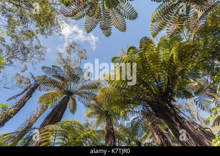New Zealand native Tree Ferns (Dicksonia squarrosa) near Rotorua, New Zealand - Stock Photo