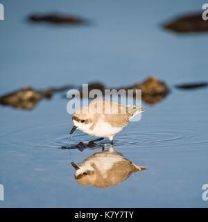 Puna plover (Charadrius alticola), Charadriidae Family, Laguna de Chaxa, Atacama desert, Antofagasta region, Chile - Stock Photo