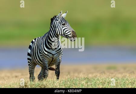 Zebra in the grass nature habitat, National Park of Kenya. Wildlife scene from nature, Africa - Stock Photo