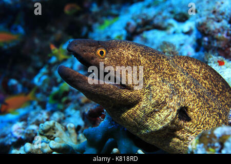 Yellow-edged moray eel (Gymnothorax flavimarginatus) underwater in the tropical coral reef - Stock Photo