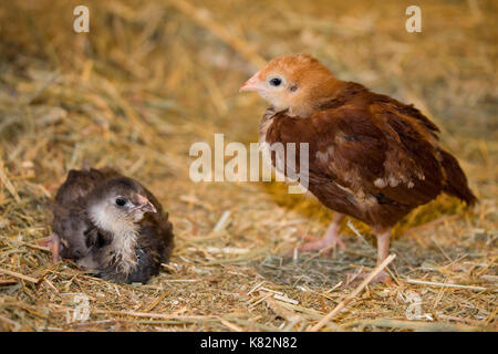 Rhode Island Red chick standing and Black Americana chick sitting on a hay bale at Baxter Barn in Fall City, Washington, - Stock Photo
