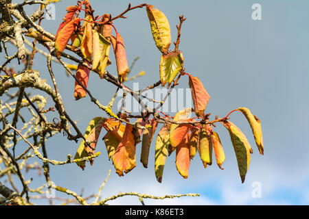 Autumn colours. Fall colors. Colourful leaves on a tree as leaves start to die at the start of Autumn, against grey - Stock Photo