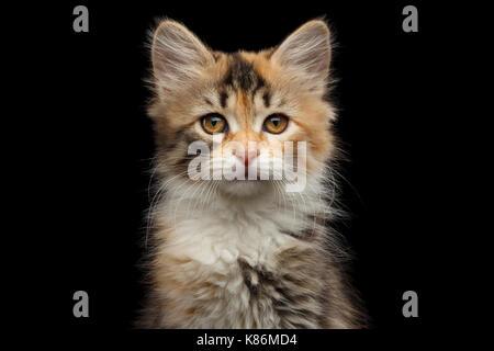 Siberian kitten on isolated black background - Stock Photo