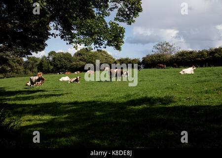 British cows grazing in grassy meadow in summer - Stock Photo