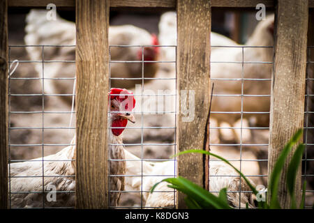 Chickens in a pen on a farm in the open air. - Stock Photo