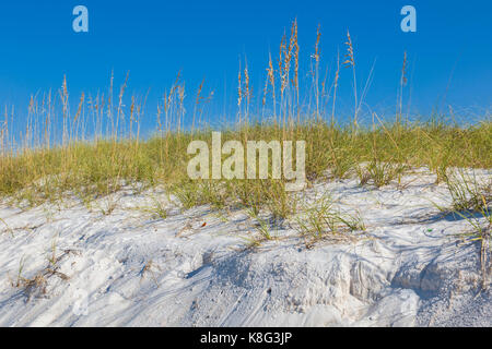 Sea Oats on St. Andrews State Park on the Gulf of Mexico in Panama City Beach Florida - Stock Photo