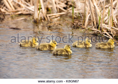 A family of recently hatched Canada goose goslings swims in the early spring shallow water of the Horicon National - Stock Photo