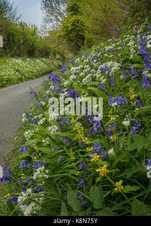 Beautiful flowery roadside verge in spring, with bluebells, wild garlic etc. near Powerstock, Dorset - Stock Photo