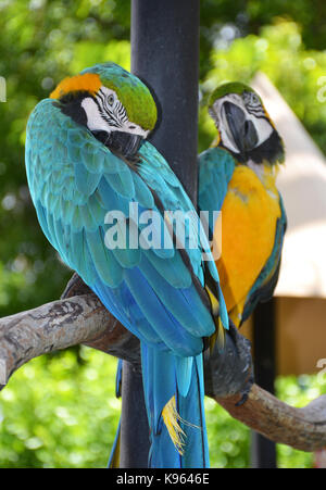 Portrait of Amazon macaw parrot - Stock Photo