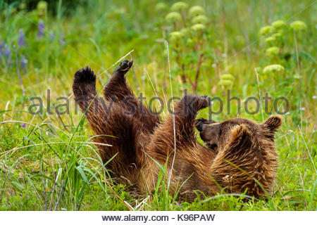 Playtime, coastal brown bear, Ursus arctos, cub rolls in the grass at Sliver Salmon Creek in Lake Clark National - Stock Photo