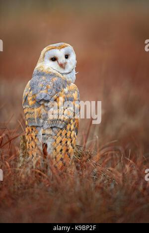 Barn Owl - Tyto alba - Stock Photo