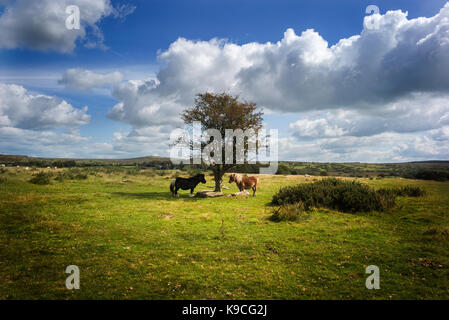 ponies on bodmin moor by tree - Stock Photo