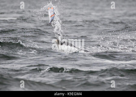 Bottlenose dolphin (Tursiops truncatus) eating a salmon in the Moray Firth, Chanonry Point, Scotland, UK - Stock Photo