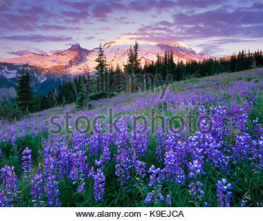 Wildflowers at Sunrise, Mount Rainier National Park, Washington - Stock Photo