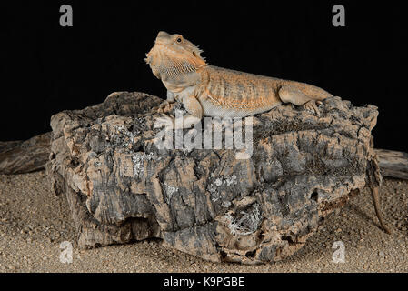 Full length photograph of an alert bearded dragon resting on a log against a black background - Stock Photo