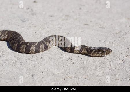A young Common Watersnake (Nerodia sipedon sipedon) stretched out on a gravel road at Squaw Creek National Wildlife - Stock Photo