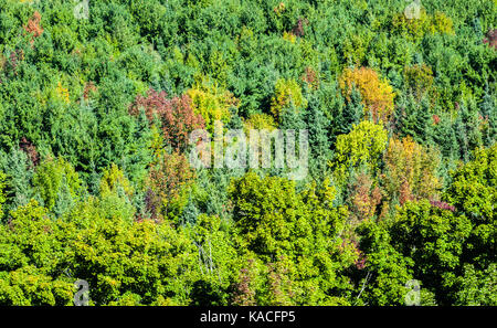 Dense green forest from above with some trees starting to show fall colors. - Stock Photo