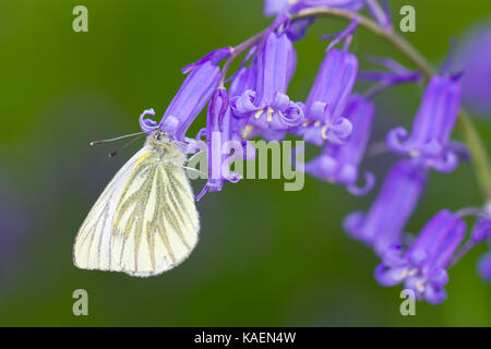 Green-veined White (Pieris napi) adult butterfly feeding on Bluebell (Hyacinthoides non-scripta) flowers. Powys, - Stock Photo
