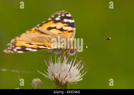 Painted Lady (Vanessa cardui) adult butterfly feeding on a thistle flower. Powys, Wales. June. - Stock Photo