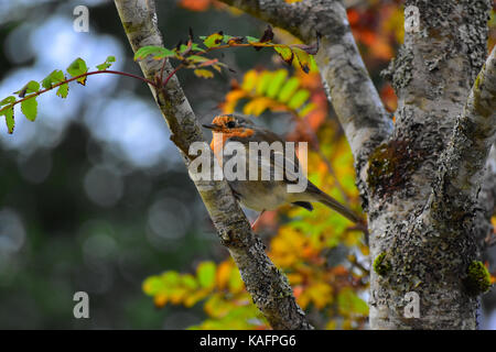 European robin (Erithacus rubecula), sitting on a branch in Scotland - Stock Photo