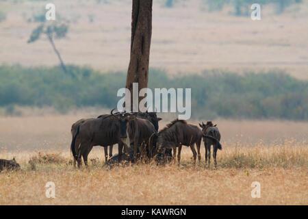 Wildebeest (connochaetes) stand round a tree on the plains of the Masai Mara, Kenya - Stock Photo