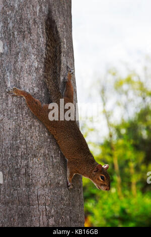 American Red Squirrel climbing down a tree, Florida, USA - Stock Photo