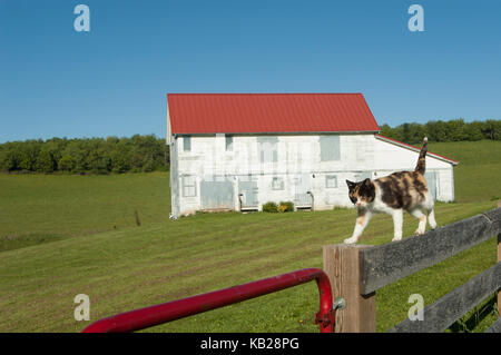 Semi-feral calico farm cat prowls on a fence with a white-washed, red-roofed barn in the background. - Stock Photo
