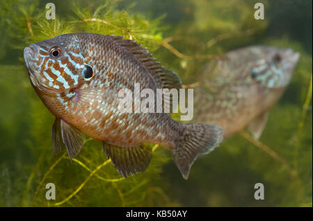 Pumpkinseed (Lepomis gibbosus) pair swimming, The Netherlands, Gelderland - Stock Photo